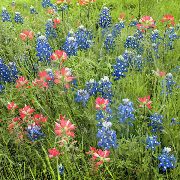 Photograph - Texas Bluebonnets And Indian Paintbrush - Ennis Bluebonnet Trail by Gregory Ballos