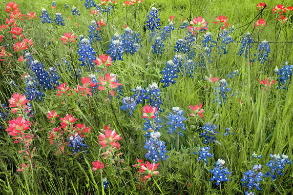 Photograph - Texas Bluebonnets And Indian Paintbrushes In Spring Bloom by Gregory Ballos