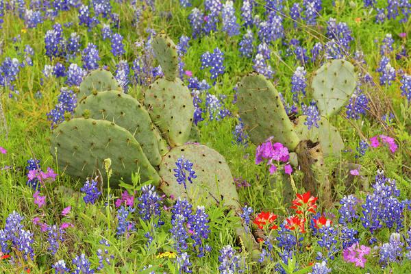 Wall Art - Photograph - Texas Bluebonnets, Lupinus Texensis by Adam Jones
