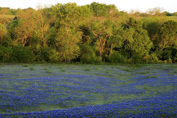 Photograph - Texas Bluebonnets122018 by Rospotte Photography