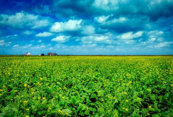 Wall Art - Photograph - Texas Cabbage Field by Mountain Dreams