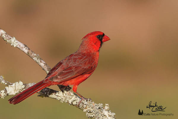 Photograph - Texas Cardinal by David Cutts