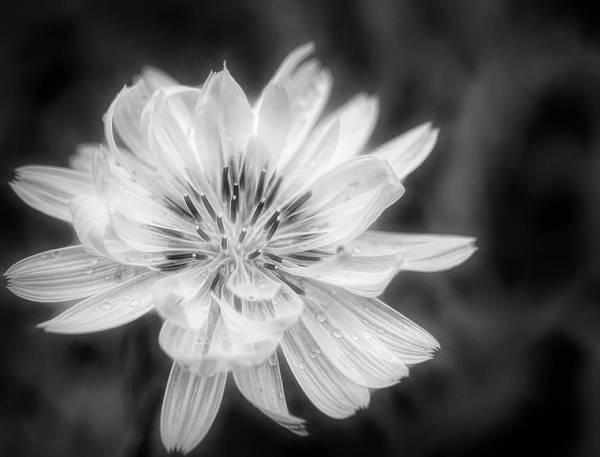 Wall Art - Photograph - Texas Dandelion Black And White by Judy Vincent