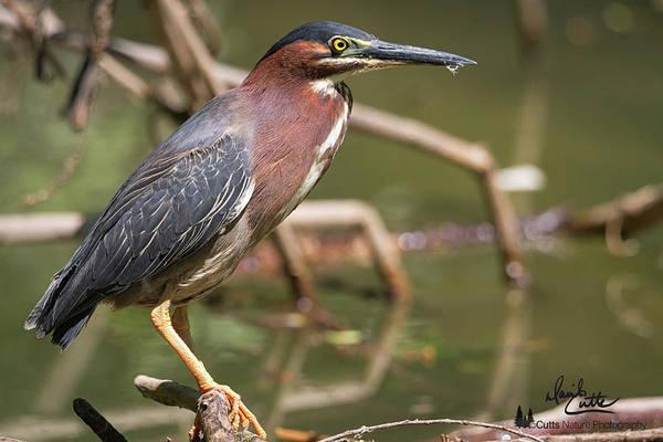 Photograph - Texas Green Heron by David Cutts