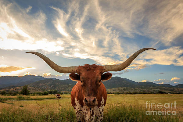 Wall Art - Photograph - Texas Longhorn Steer In Rural Utah, Usa by Johnny Adolphson