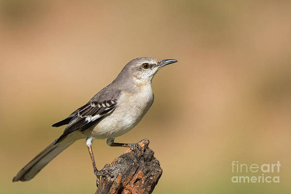 Photograph - Texas State Bird by David Cutts