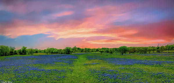 Photograph - Texas State Flower, Bluebonnets by Gaylon Yancy