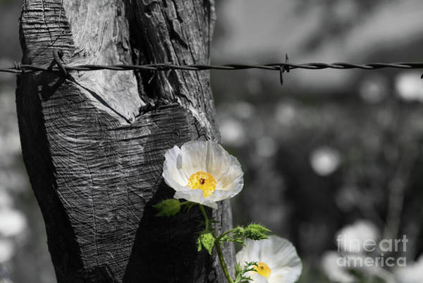 Photograph - Texas Wildflower Selective Color by Paul Quinn