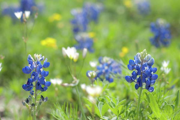 Photograph - Texas Wildflowers by Linda Trine