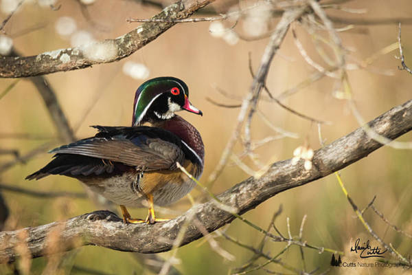 Texas Wood Duck Art Print