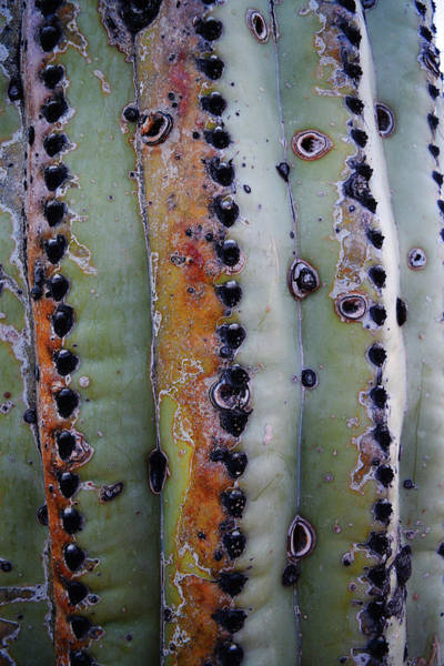 Photograph - Texture Of A Saguaro by Chance Kafka