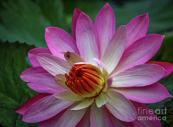 Photograph - Textured Lily With Bee by Tom Claud