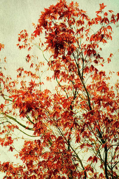 Photograph - Texurized Red Maple by Tikvah's Hope