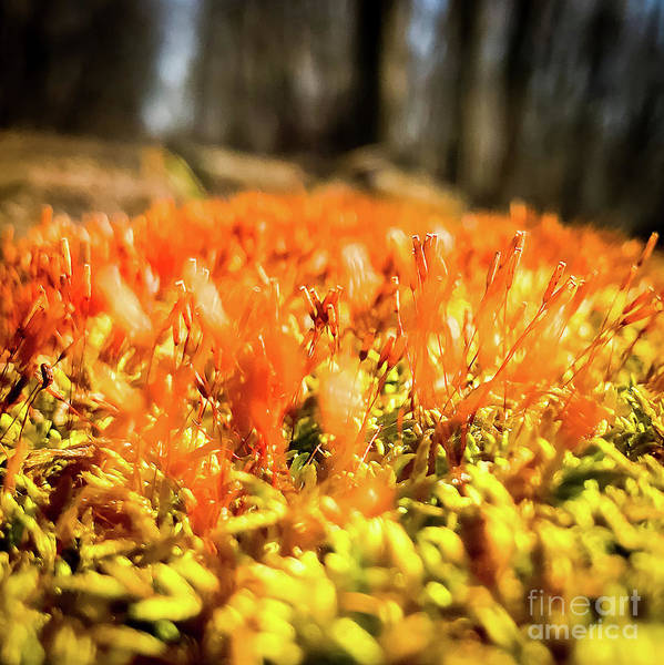 Photograph - Orange Moss 1 by Atousa Raissyan