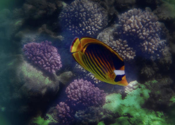Photograph - The Adorable Raccoon Butterflyfish Colorfully by Johanna Hurmerinta