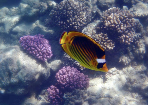 Photograph - The Adorable Raccoon Butterflyfish Of The Red Sea by Johanna Hurmerinta