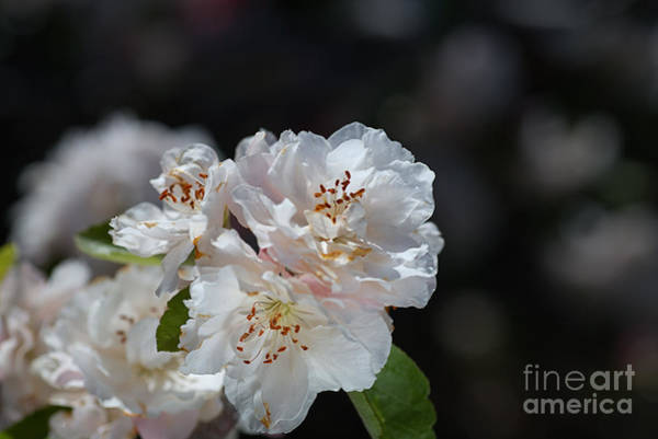 Photograph - The Ageing Spring Flowers White by Joy Watson