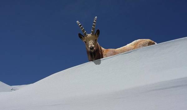 Ibex Wall Art - Photograph - The Alpine Ibex by Zahoor Salmi