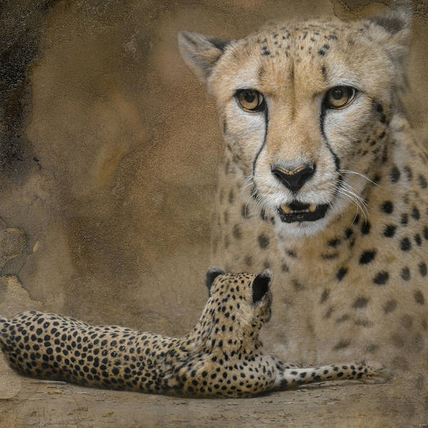 Photograph - The Amazing Cheetah by Jai Johnson