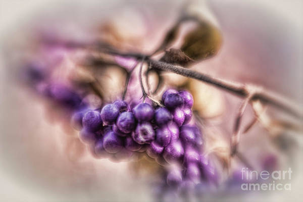 Photograph - The American Beautyberry by Mary Lou Chmura