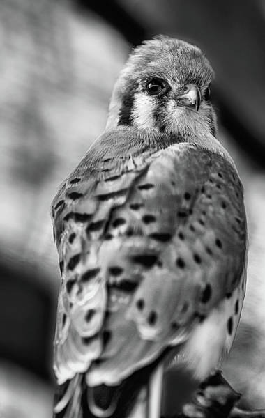 Photograph - The American Kestrel Black And White by Kyle Findley