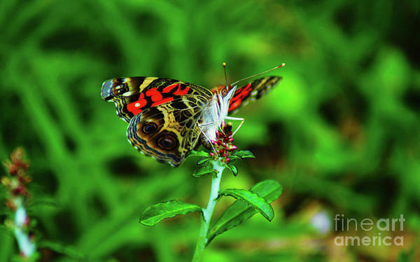 Digital Art - The American Painted Lady Butterfly by Kim Pate