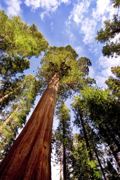 Sequoia Grove Photograph - The Ancient Ones by Jftringali