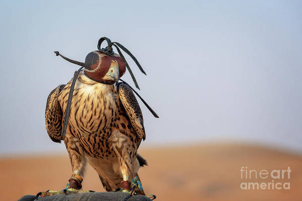 Falcon Photograph - The Art Of Falconry by Delphimages Photo Creations
