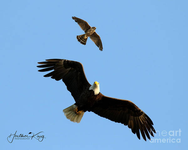Wall Art - Photograph - The Bald Eagle And The Merlin by Heather King