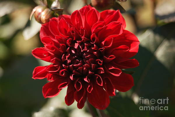 Wall Art - Photograph - The Beauty Of A Red Flower by Jeff Swan