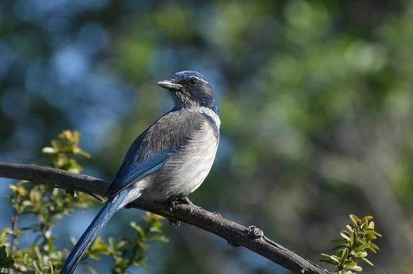 Scrub Jay Photograph - The Big Blue 2 by Fraida Gutovich
