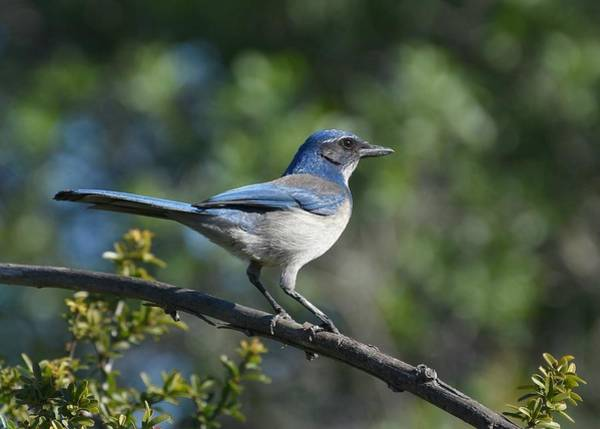 Scrub Jay Photograph - The Big Blue by Fraida Gutovich