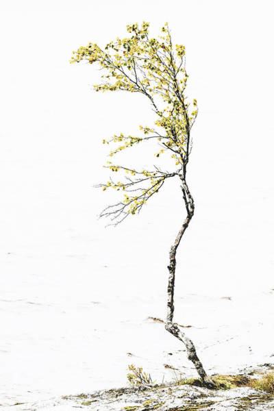 Photograph - The Birch Tree by Ari Salmela