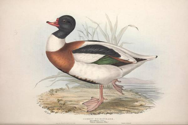 Wall Art - Painting - The Birds Of Europe, London,printed By R. And J.e. Taylor, Pub. By The Author,1837 - 345 by Celestial Images
