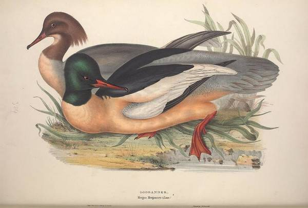 Wall Art - Painting - The Birds Of Europe, London,printed By R. And J.e. Taylor, Pub. By The Author,1837 - 349 by Celestial Images