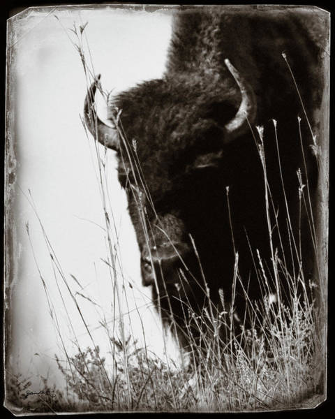 Photograph - The Bison Roaming The Grasslands In Custer State Park South Dakota United States Of America by Gerlinde Keating - Galleria GK Keating Associates Inc
