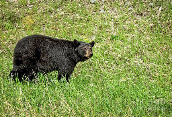 Wall Art - Photograph - The Black Bear by Robert Bales