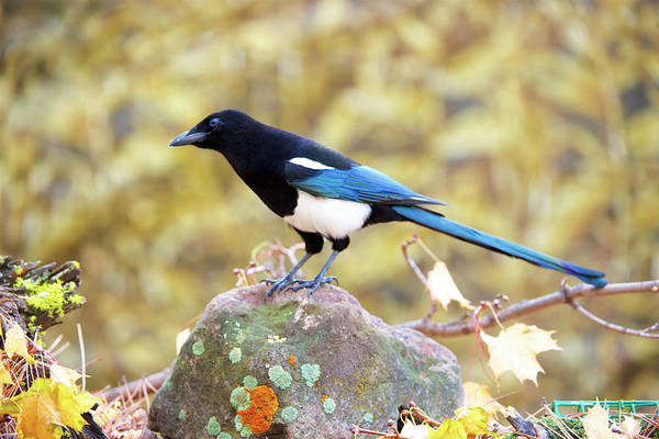 Wall Art - Photograph - The Black-billed Magpie, Is A Bird by Richard Wright