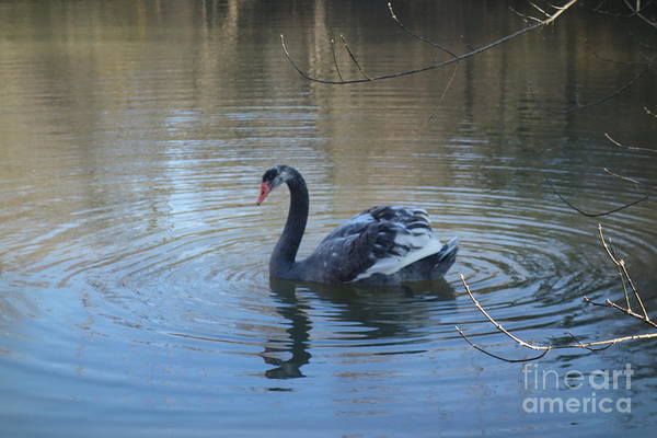 Photograph - The Black Swan Of Brandywine Valley by Susan Carella