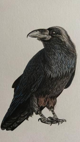 Avian Drawing - The Blackest Bird by Erika Clarke