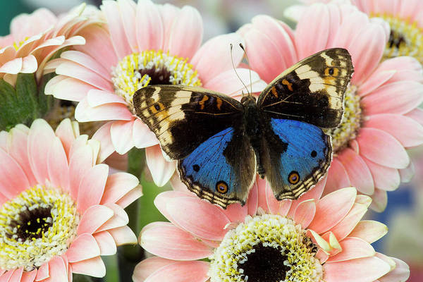 Wall Art - Photograph - The Blue Pansy Butterfly, Junonia by Darrell Gulin