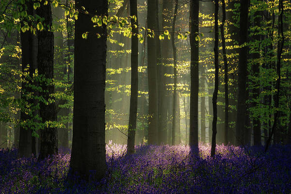 Bluebell Photograph - The Bluebells by Martin Podt
