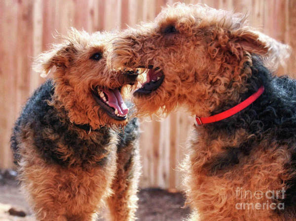 Photograph - The Brothers Airedale by Natural Abstract Photography