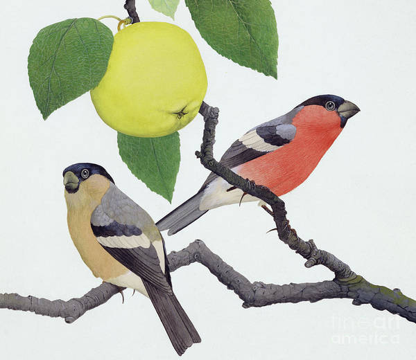 Wall Art - Painting - The Bullfinch by Kenneth Lilly