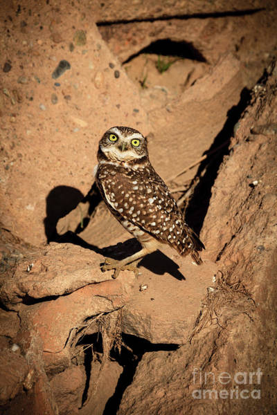 Wall Art - Photograph - The Burrowing Owl by Robert Bales