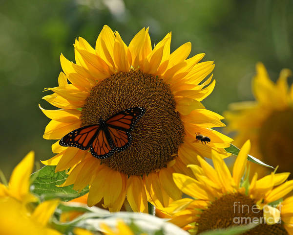 Wall Art - Photograph - The Butterfly The Bee And The Sunflower by Heather King