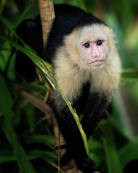 Photograph - The Capuchin Stare by Darylann Leonard Photography