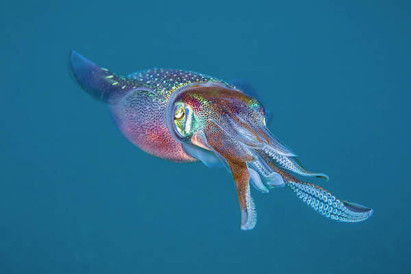 Wall Art - Photograph - The Caribbean Reef Squid  Sepioteuthis by Dave Fleetham