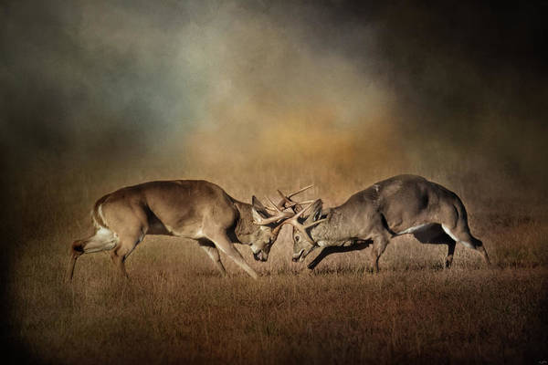Photograph - The Challengers - Whitetail Deer Art by Jai Johnson