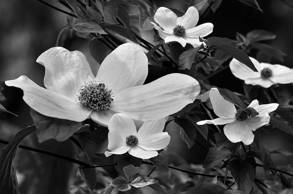 Photograph - The Cherokee Rose by Tikvah's Hope